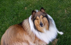 Collie Sheffield dog boarding and grooming