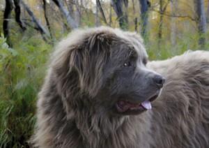 Newfoundland dog grooming Sheffield