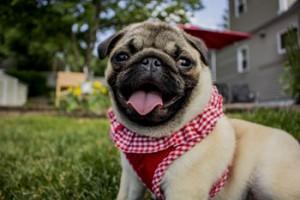 Pug dog boarding kennels Sheffield