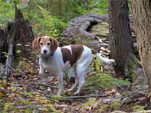 seasonal canine illness