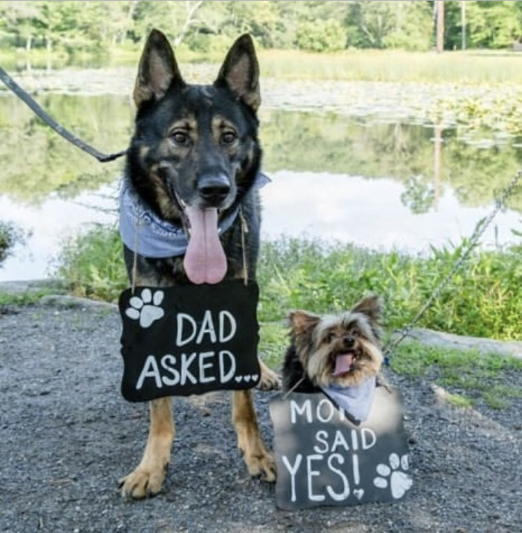 Tippy the Yorkie and Trigger the German Shepherd taking part in their parent's engagement announcement.