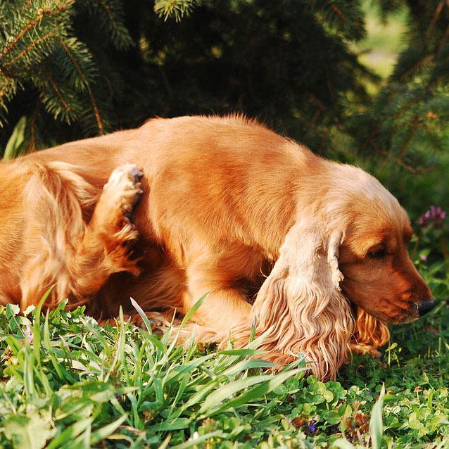 How To Tell If Your Dog Has Fleas
