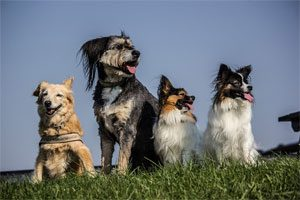 dog social learning