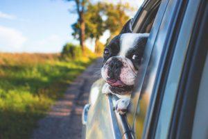 dog cars summer heat